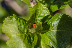 LadyBug (thomask8) Tags: flowers summer plants flower nature floral spring bokeh ngc blossoms bloom ladybug blooming naturescenes simplyflowers