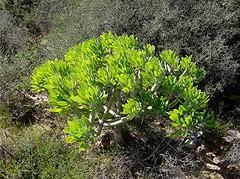 Oleanderblättrige Kleinie - Kleinia neriifolia zwischen Strauch-Dornlattich, NGID239218167 (naturgucker.de) Tags: kleinianeriifolia naturguckerde 1038097865 1062798284 574311238 oleanderblättrigekleinie chorstschlüter ngid239218167