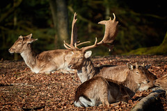 Resting (powerdook) Tags: park morning trees male nature leaves sunshine animal animals female forest stag wildlife warmth deer antlers resting aarhus dyrehaven