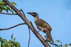 Friarbird 710_7359-1.jpg (Mobile Lynn) Tags: wild bird nature birds fauna wildlife ngc australia queensland arcadia leatherhead coth friarbird specanimal coth5 sunrays5