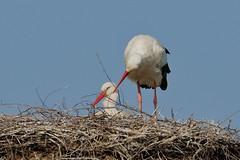 Der Zrtliche (frodul) Tags: bird deutschland nest outdoor wildlife natur paar hannover ni horst stork vogel storch flgel frhjahr ciconiaciconia zuneigung federkleid zrtlichkeit weisstorch