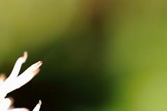 Home Garden Sundaymorning Blues (RW-V) Tags: flowers flower color colour fleur fleurs colorful colours bokeh couleurs blumen athome colourful minimalism blume couleur bloemen bloem 100faves pachysandraterminalis japanesespurge 80faves gardenpictures japanesepachysandra canonef100mmf28lmacroisusm canoneos70d dikkemanskruid athomegarden