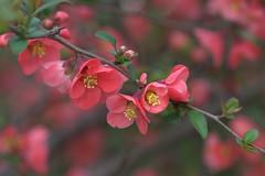 Flowering Quince (KsCattails) Tags: red flower spring nikon blossom bokeh peach shrub quince floweringquince overlandparkarboretum d7000 kscattails