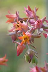 Echeveria pallida (wundoroo) Tags: flowers newyork march spring bronx nybg newyorkbotanicalgarden nolengreenhouse