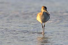Willet (dpsager) Tags: california bird pacific sandiego sunsetcliffs willet dpsagerphotography