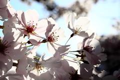 Greeting the sunshine (Benny2006) Tags: light sunshine spring bright cherryblossom cheerytree