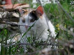 Aux aguets (Grand-Papp, charrette...) Tags: cat chat gata auvergne agata chatte massifcentral hauteloire margeride hautesterres lobe marjarida