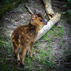 Muntjac kid (hehaden) Tags: kid surrey deer fawn bwc muntjac lingfield barkingdeer reevesmuntjac britishwildlifecentre muntiacusreevesi