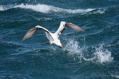 Australasian Gannet (Morus serrator) taking off (Keefy2014) Tags: australasian gannet morus serrator