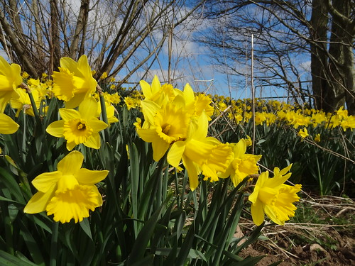 A host of golden daffodils (2)