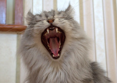 Big Cat Yawn (Tony Worrall Foto) Tags: usa pet house cute beauty face animal cat mouth kept fur mammal happy nice eyes furry kitten feline chat long play head sleep teeth small pussy yawn large indoor sharp whiskers sleepy american tired sound mainecoon stare bite beast shock meow inside katze talking popular chomp roar puss playful carnivorous shout domesticated moggy longhaired catty catbite feliscatus domesticcats shouty catsteeth