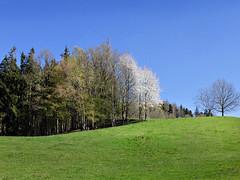 Sun in spring - (rotraud_71) Tags: forest bayern spring meadow badreichenhall berchtesgadenerland edgeofthewoods johannshgl blueskyflourishingtrees