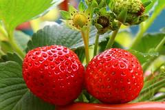IMG_6900dppgimp (marcel652016) Tags: macro flora strawberries fragole