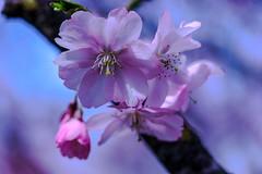 Cherry Blossom (dretschi) Tags: munich mnchen cherry spring blossom rosa himmel bltter frhling olympiapark kirsche kirschblte kirschbaum olympiaberg
