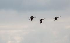 Catcott Lows-3646 (oldparson) Tags: crane glastonbury cranes tor somersetlevels catcott