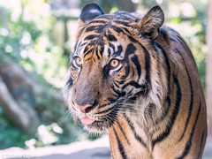 Keahi  - Oh What a Beautiful Morning (Harimau Kayu (AKA Sumatra-Tiger)) Tags: usa animal japan breakfast cat asian fire zoo hawaii washingtondc ueno tiger beast nationalzoo honolulu soy sendai tijger carnivorous tigris tigre bayu goodlooking bigcats sumatran chrissie selfie uenozoo soyono  honoluluzoo predetor zoorasia uenozoologicalgardens flesheating berani sumatratiger tygr rokan tiikeri  keahi pantheratigrissumatrae tondi sumatraansetijger yagiyama kerinci asiancat tigredesumatra yokohamazoologicalgardens malosi  sumatrantiikeri yagiyamazoologicalpark thesmithsoniannationalzoologicalpark harimausumatera sumatrakaplan tygrsumatersk tygryssumatrzaski  szumtraitigris       hsumatra honoluluborn tigerselfie