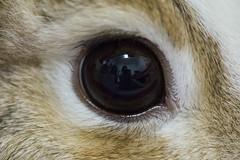 (ina070) Tags: pet pets macro rabbit eye animals canon eyes       canon6d