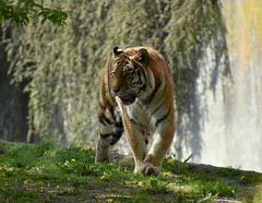 Zoo  in my city . (eowina) Tags: nature zoo tiger lodz