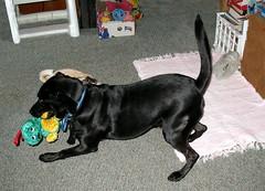 Clayton 2007 (dog.happy.art) Tags: dog playing black lab labrador play