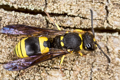 Ancistrocerus Nigricornis Wasp (Tubs McHam) Tags: macro nature canon insect dof wasp mpe65 potterwasp mr14ex canon6d ancistrocerusnigricornis matthewpaullewis tubsmcham