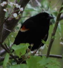 Red-winged Blackbird (lycaenidae_nm) Tags: usgs