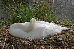 Wind in de veren, maar ze blijft op haar nest (Olga and Peter) Tags: swan nest diemen zwaan fp1110021