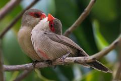 Common waxbill (s_uddin59) Tags: hawaii oahu uhm commonwaxbill waxbill