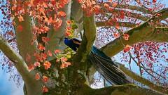 Dans mon arbre .... (Yasmine Hens) Tags: blue orange bird nature landscape lumix europa flickr belgium ngc bleu oiseau namur hens yasmine paon wallonie annevoie jardinsdannevoie world100f iamflickr flickrunitedaward hensyasmine