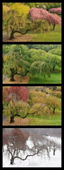 Cherry Esplanade Seasons (HorsePunchKid) Tags: gothamist brooklynbotanicgarden plantae prunus rosales rosaceae magnoliophyta cherryesplanade taxonomy:order=rosales taxonomy:family=rosaceae taxonomy:genus=prunus taxonomy:kingdom=plantae taxonomy:phylum=magnoliophyta taxonomy:claderoot=plantae clade:magnoliopsida=rosales clade:rosales=rosaceae clade:rosaceae=prunus taxonomy:eolid=29913 taxonomy:common=cherriesplumspeachesapricotsalmondsandrelatives clade:plantae=tracheophyta clade:tracheophyta=magnoliopsida gbcseries
