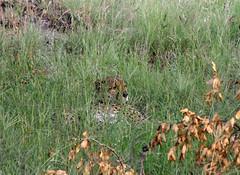 Cheetah (little_duckie) Tags: africa southafrica buffalo zebra cheetah giraffe impala hyena rhinoceros krugernationalpark kruger gamedrive kudu bushbuck