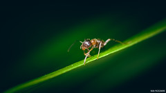 Cliffhanger (Naska Photographie) Tags: macro nature photo photographie natur mini micro insectes microcosmos petit proxy macrophoto fourmis photographe minuscule macrophotographie proxyphoto naska fourmiz