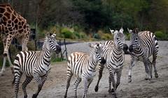 Herd (Keith Mac Uidhir  (Thanks for 3.5m views)) Tags: ireland dublin animal zoo irland zebra dier animalia tier dublino irlanda irlande ierland irska dubln irlandia lirlanda irsko  airija irlanti  cng  iirimaa ha     rorszg         rlnd