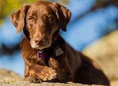 Crossed Paws (KB RRR) Tags: colorado rockymountains frontrange chocolatelabrador shyla
