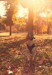 Nitro (Cruzin Canines Photography) Tags: park trees sunset dog pet pets playing cute dogs nature grass leaves animal animals canon outside mammal outdoors play sundown naturallight canine pit pitbull terrier domestic nitro bakersfield goldenhour califorina americanpitbullterrier hartpark domesticanimal pitbullterrier 5ds canon5ds eos5ds canoneos5ds