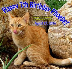 Happy 7th Birthday Phoebe (youtube.com/utahactor) Tags: birthday female cat mackerel ginger tabby kitty phoebe gata rare subscribe youtube friendsofzeusandphoebe