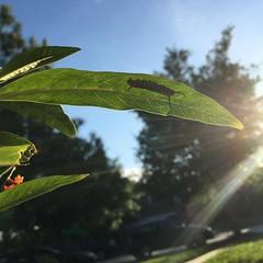 #low_angle #day112 #my_365 #caterpillar #my_365_low_angle #nothingisordinary #nothingisordinary_ #sunnypicchallenge #shinephotochallenge #littlebitsof_life #our_everyday_moments #yourdailysnap #Monarch #MonarchsRock #LoveMonarchs #savethemonarchs (kelli.bergin) Tags: square caterpillar squareformat monarch day112 lowangle iphoneography instagramapp