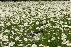 Oca faccia bianca (ddgp) Tags: white face goose daisy bianca oca faccia margherite