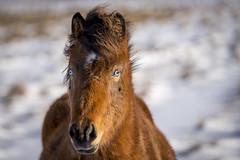cheveaux (1) (OliPhil_997) Tags: horses iceland islande cheveaux