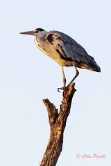 grey heron (ardea cinerea) (Colin Pacitti) Tags: bird heron animal outdoor ardeacinerea treetop greyheron wildbird perchingbird eiap fantasticwildlife birdperfect hennysanimals sunrays5