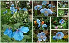Blue Poppy collection (edenseekr) Tags: collage longwoodgardens himalayanbluepoppy
