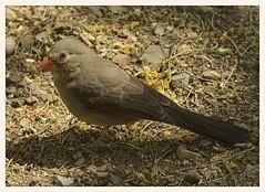 Cardinal X Pyrrhuloxia Hybrid (?) (gauchocat) Tags: arizonasonoradesertmuseum tucsonarizona