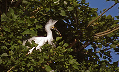 Dancing in Trees, i (F.emme) Tags: birds snowyegret egrets