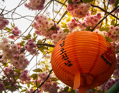 Orange Buddha Lantern and Donarium Cherry Blossoms Above.jpg (melissaenderle) Tags: orange seoul southkorea