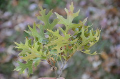 Slight dried green pin oak leaves - Ballarat Botanical Gardens (avlxyz) Tags: leaf oak australia victoria botanicalgardens redoak ballarat fb2 quercuspalustris ballaratbotanicalgardens swampspanishoak pinkoak