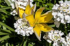 Gelbe Wildtulpen drngen sich durch Schleifenblumen - Yellow wild tulips come through candytufts (riesebusch) Tags: berlin garten marzahn
