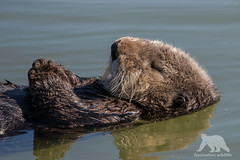Resting Otter (fascinationwildlife) Tags: ocean california sea wild usa cute nature animal america mammal bay monterey moss pacific wildlife natur landing otter seeotter
