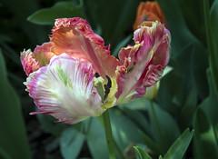 Spring Color III (Joe Josephs: 2,650,890 views - thank you) Tags: nyc newyorkcity floral spring flora centralpark manhattan springflowers centralparknewyork springtime urbanlandscapes urbanparks springcolor joejosephs joejosephsphotography