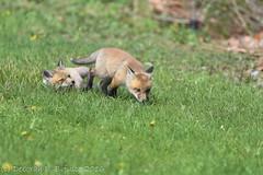 The Fox Kits (dbifulco) Tags: wild nature animals newjersey backyard babies wildlife kits redfox