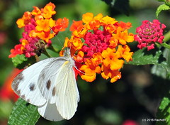 DSC_0587 (rachidH) Tags: flowers nepal lake nature blossoms butterflies insects chou cabbage nepalese blooms lantana pokhara fewa phewa papillons pieris pieriscanidia piride lapirideduchou papillonblancduchou rachidh indiancabbagewhitebutterfly