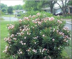oleander (miz bee) Tags: misc shrub oleander